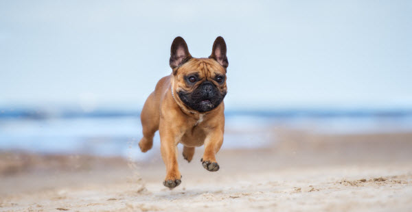 Vetaround - Adorable-red-french-bulldog-dog-on-a-beach