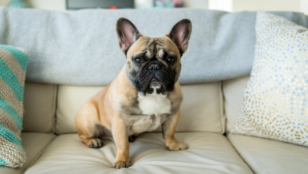 Vetaround - French-bulldog-sitting-on-couch