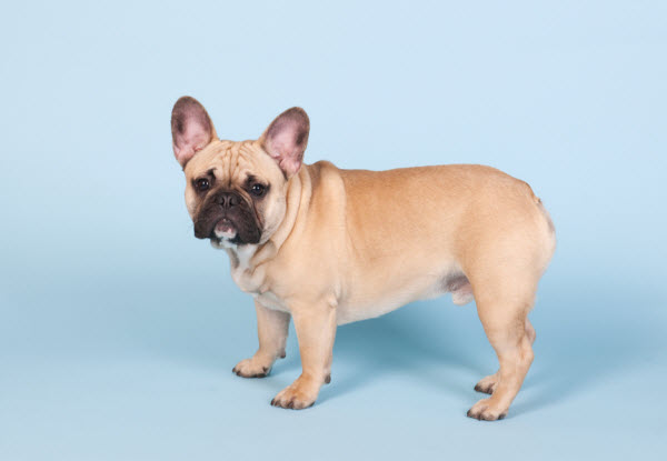 Vetaround - French-bulldog-standing-in-studio-on-blue-background