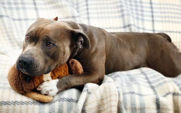 Dog with toy bunny rabbit