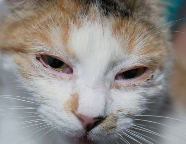 Cat infected by Herpes virus