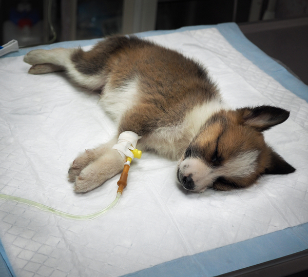 Dog lying down on the pad with intravenous