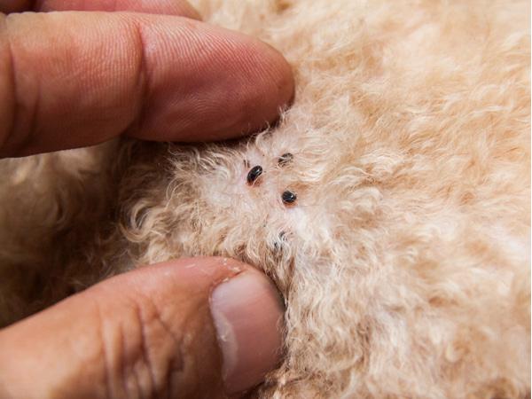 Understanding fleas